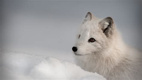 wallpaper arctic fox northern hemisphere animal animals