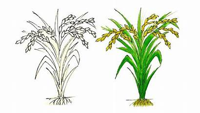 Rice Draw Easy Tree Step Very