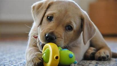 Lab Chocolate Labrador Puppy Wallpapers Retriever Wallpapertag
