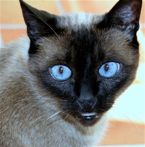 Animals Zoo Park Cat Breeds  Siamese Cats Photo Pictures