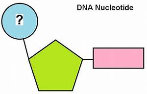 Dna  U0026 Rna Nucleotide Structure Flashcards