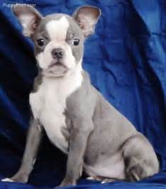 Blue Boston Terrier Puppies