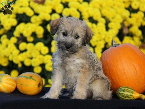 Schnoodle Puppies For Sale Schnoodle Breed Info