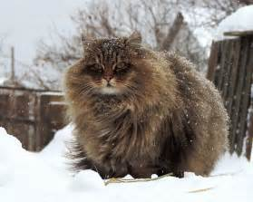 siberian cats 20 animals with majestic hair bored panda