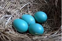 robin egg blue Are Robins' Eggs Blue? - British Bird Lovers