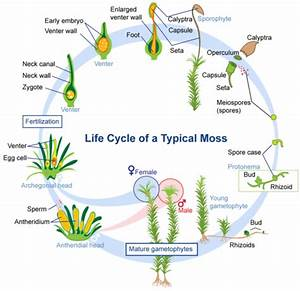 Life Cycle Of Nonvascular Plants   Read