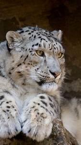 825 best images about Snow Leopards on Pinterest