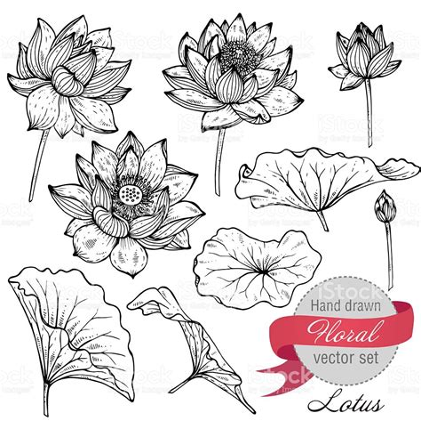 Vector Set Of Hand Drawn Lotus Flowers And Leaves Sketch