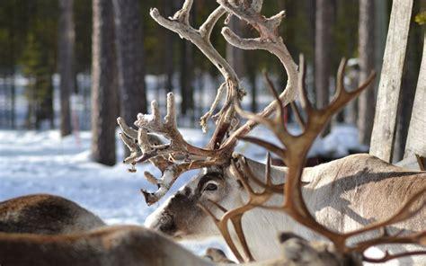 Reindeer Wallpaper Hd by Reindeer Wallpapers Hd For Desktop Backgrounds