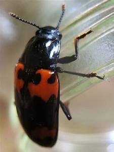pleasing fungus beetle hgtv