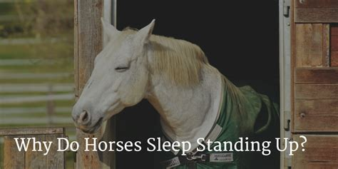 sleep standing horses why horse does they lie ever did wonder
