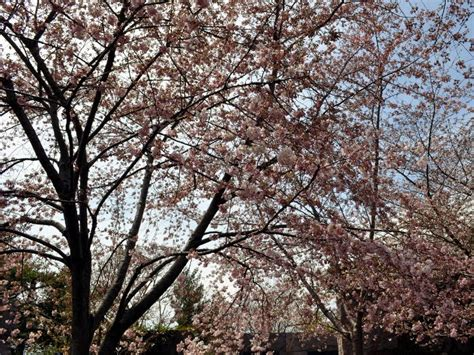 different types of cherry trees travel യ ത ര cherry blossom