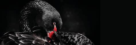 black swan belfor