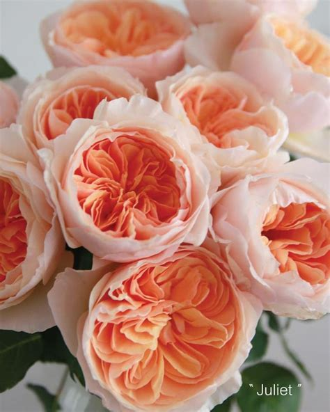 david garden roses 25 best ideas about juliet garden rose on pinterest david austin roses peach flowers and