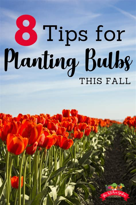 Tips Planting Fall Bulbs by 8 Tips For Planting Bulbs In The Fall The Kitchen Garten