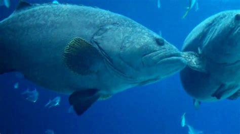grouper fish aquarium georgia