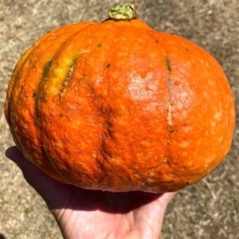 Pumpkin Hokkaido / Uchiki Kuri Seeds - Semi Strani Carlo ...