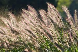 Gräser Zurückschneiden Frühjahr : wie pflanzt man gr ser richtig tipps zur berwinterung ~ Lizthompson.info Haus und Dekorationen
