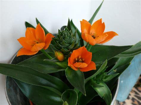 Zimmerpflanze Orange Blüte by Pflanzenportraits
