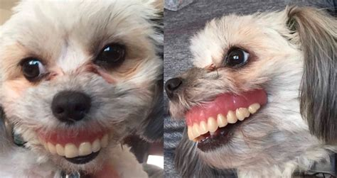 Important Inspiration Funny Pictures Of Dogs With False Teeth