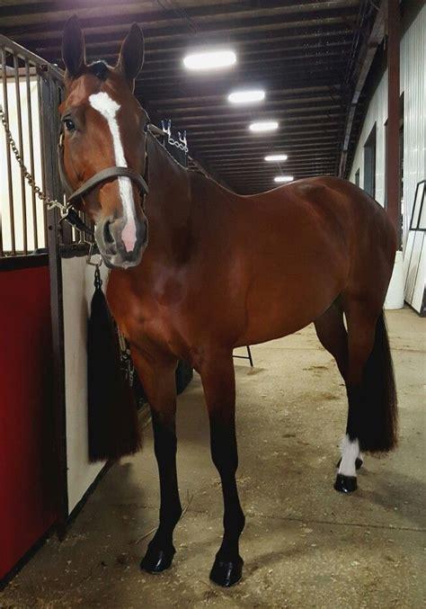 horse quarter english saddle under road eqi decor bay saddles horses hunter riding equestrian