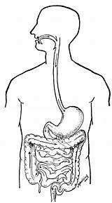 Human Coloring Digestive System Clipart Sistema Desenhos Digestivo Colorir Anatomie Biologie Ausmalbilder Systems Humano Corpo Anatomy Clip Library Pancreas Emaze sketch template