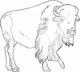 Buffalo Coloring African Outline Animals Drawing Drawings Animal Printable Pencil Bison Sheet Sheets Skull Face Indian Adult Animalstown Town Creative sketch template
