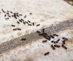 Ungeziefer In Der Wohnung Arten : die besten 78 ideen zu ameisen im haus auf pinterest ~ Lizthompson.info Haus und Dekorationen