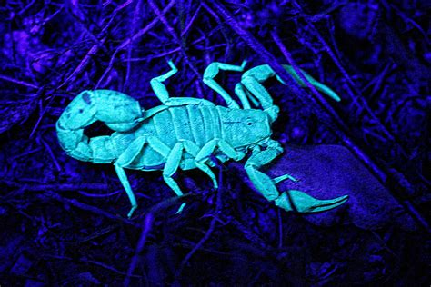 desert safari stalking glow   dark scorpions