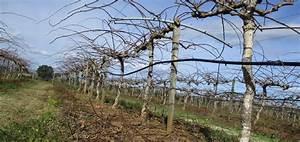Tailler Les Kiwis : agrucorse c 39 est aussi la production de kiwis agrucorse cl mentine de corse pomelos de ~ Farleysfitness.com Idées de Décoration