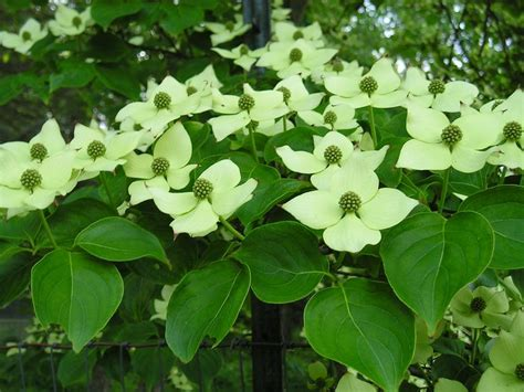 dogwood tree blooms dogwood tree in bloom flowers pinterest dogwood trees and trees