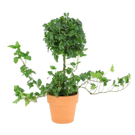 4.25 in. Ivy Ball On Stem Topiary in Terra Cotta Pot-XX