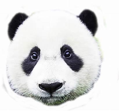 Mask Pandas Without Miraak Animal Panda Tutorial