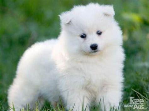 Samoyed Puppy Baby Animals Pinterest Puppys Samoyed