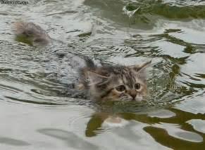 water cat brown cat in water