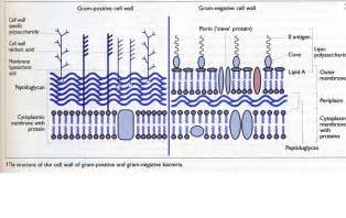 Positive and Gram-negative Cell Wall