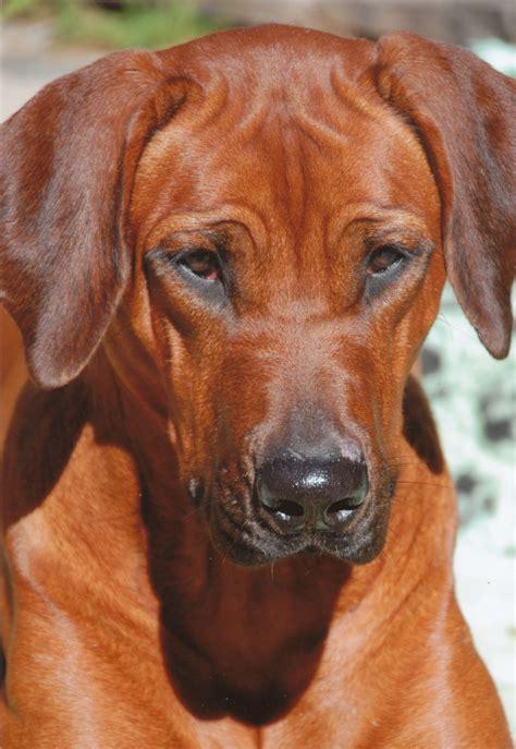 shangani rhodesian ridgebacks unsere hunde