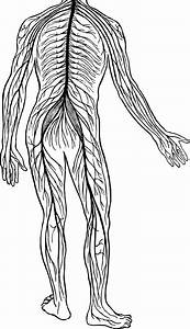 Free Nervous System Cliparts  Download Free Clip Art  Free Clip Art On Clipart Library