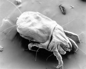 House dust mites evolved a new way to protect their genome