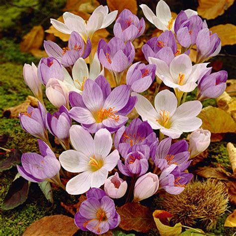 fall blooming crocus bulbs mix dynado