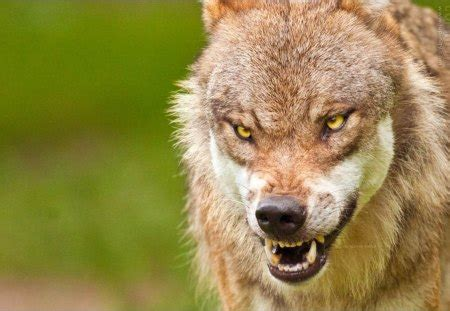 Angry Lone Wolf Wallpaper by Angry Wolf Dogs Animals Background Wallpapers On