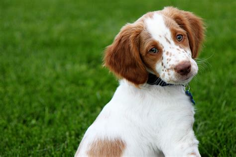 Brittany Dog History, Personality, Appearance, Health and ...