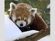 Red Panda at the Central Park Zoo