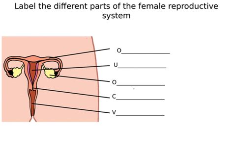 male female reproductive system diagram label worksheets differentiated by zmzb teaching