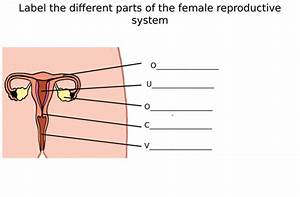 Male  U0026 Female Reproductive System Diagram Label Worksheets  Differentiated  By Zmzb