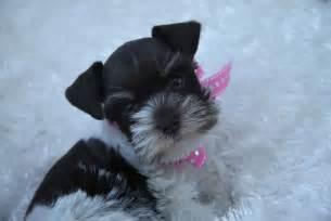 Teacup Miniature Schnauzer Puppies for Sale