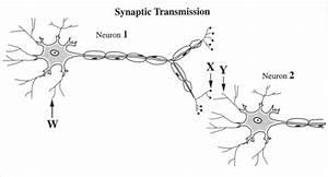 7 Best Images Of Neuron Label Worksheet