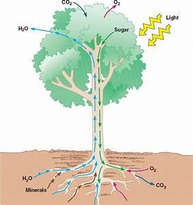 Diagram Of Vascular System