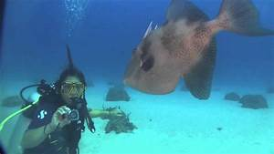 Triggerfish attacks camera and diver !!! on Carib Cargo in ...