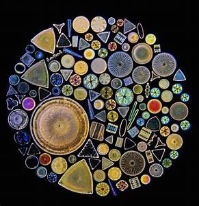 Diatoms arranged on a microscope slide | Macro & Micro ...